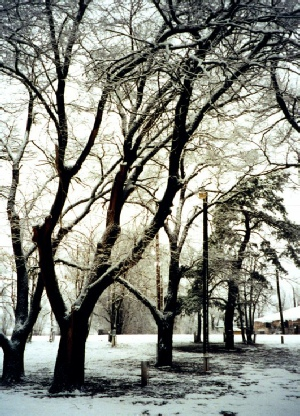 2002-02-06 2 Snowy trees, Sayre, Texas
